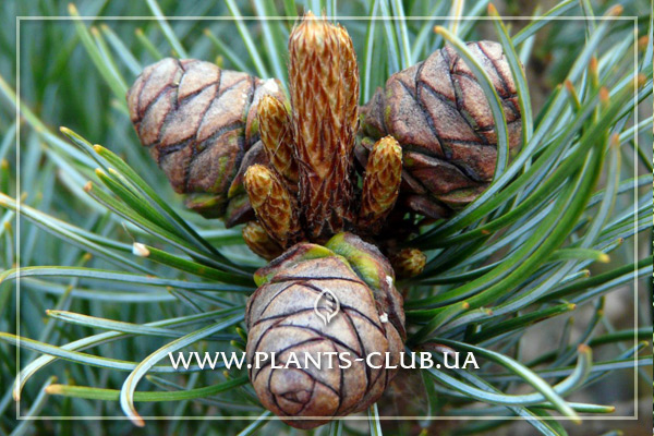 p-33324-pinus_parviflora_negishi.jpg