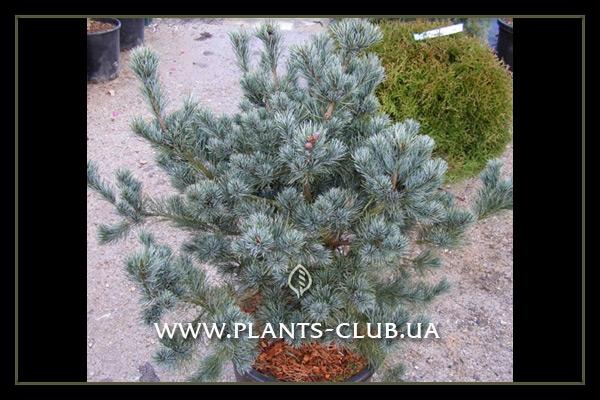 p-33324-pinus_parviflora_negishi_4.jpg