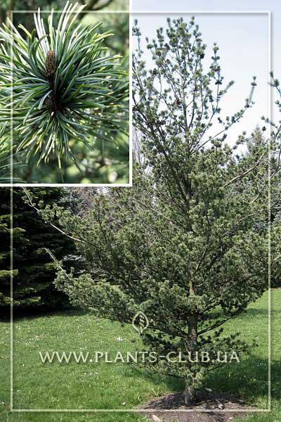 p-33351-pinus-parviflora-saphir.jpg