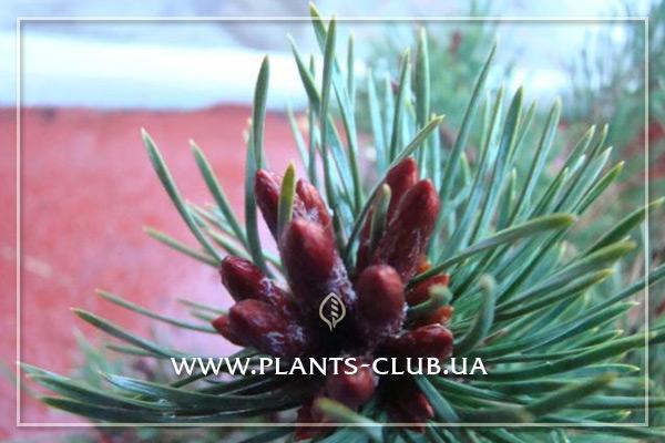 p-33494-pinus-sylvestris-longmoor_4.jpg
