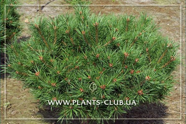 p-33494-pinus-sylvestris-longmoor_5.jpg