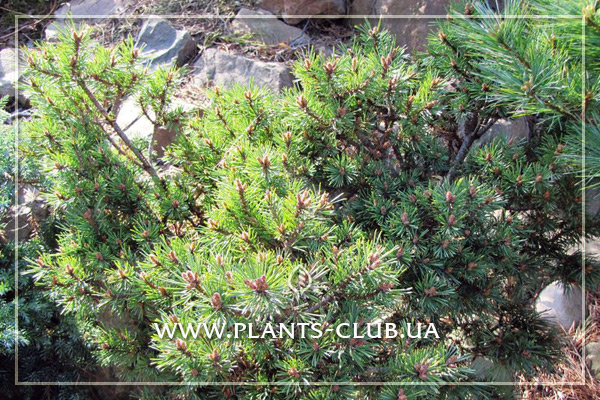 p-33494-pinus-sylvestris-longmoor_6.jpg
