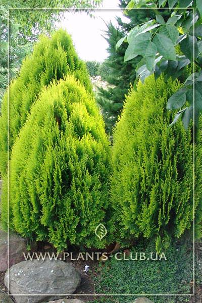 p-33579-platycladus-orientalis-'pyramidalis-aurea'.jpg
