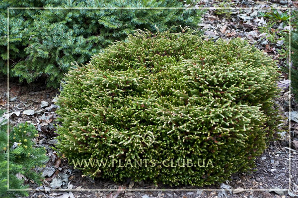 p-33710-thuja-occidentalis-'golden-tuffet'.jpg