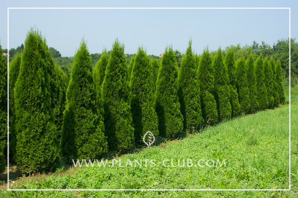 p-33757-thuja-occidentalis-'smaragd'-3.jpg
