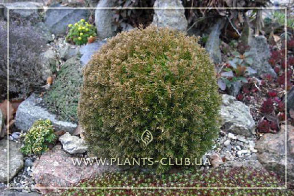 p-33803-thuja-occidentalis-teddy.jpg