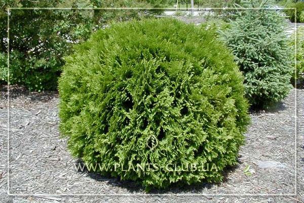 p-33808-thuja-occidentalis-'woodwardii'.jpg