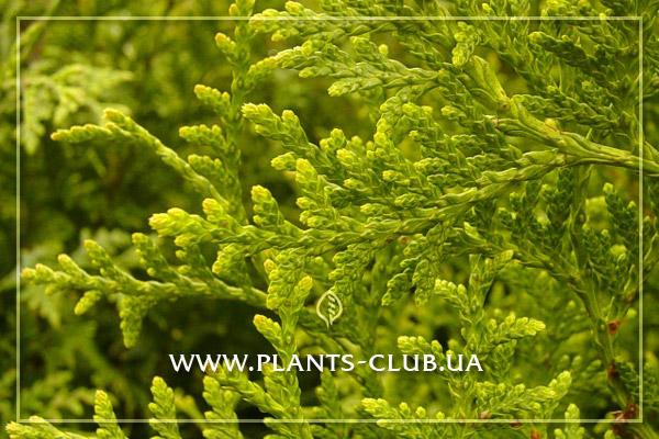 p-33830-thuja-plicata-gelderland3.jpg