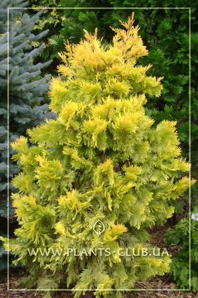 p-33853-thuja-plicata-zebrina-extra-gold.jpg