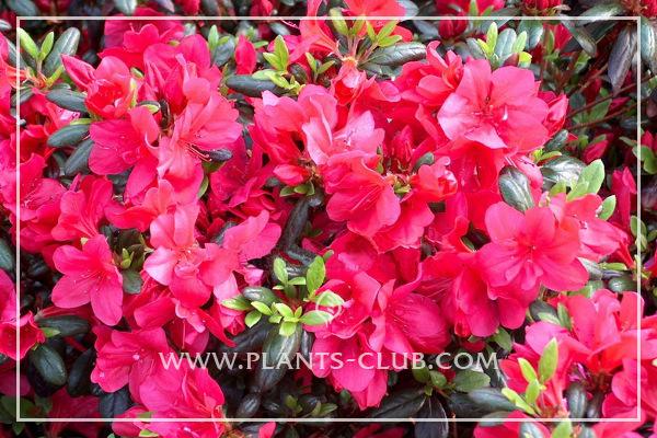 p-33885-rhododendron_azalea-japonska_'maruschka'.jpg