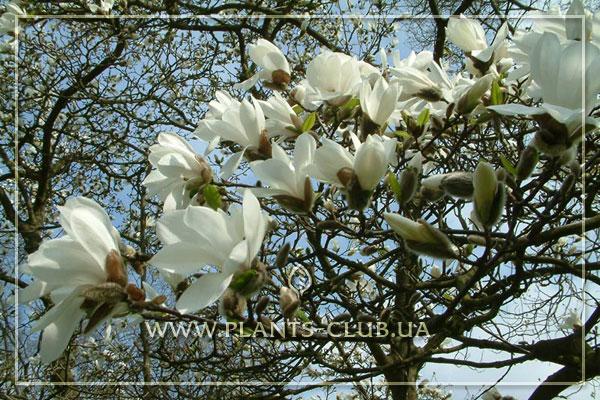 p-33894-magnolia.jpg