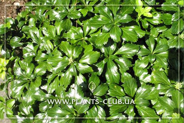 p-33917-pachysandra-terminalis-green-sheen.jpg