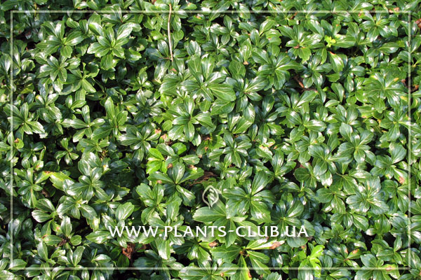 p-33917-pachysandra-terminalis-green-sheen4.jpg
