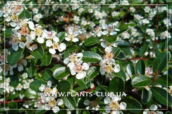 p-33923-cotoneaster-dameri-radicans.jpg