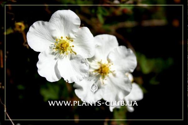 p-33966-potentilla_fruticosa__abbotswood_4.jpg
