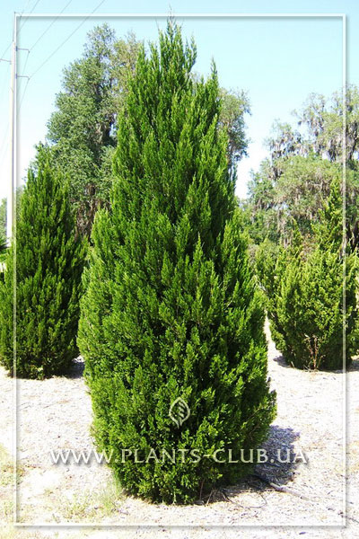 p-34021-juniperus-chinensis-spartan.jpg