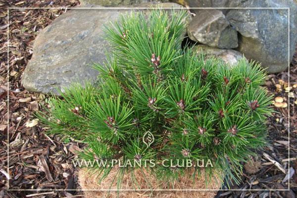 p-34109-pinus-nigra-'bambino'.jpg