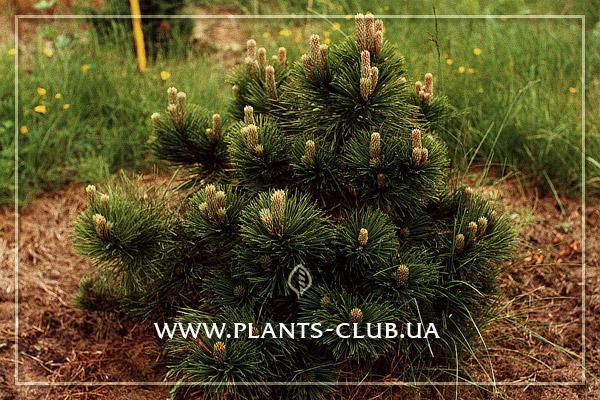 p-34114-pinus_nigra_helga.jpg