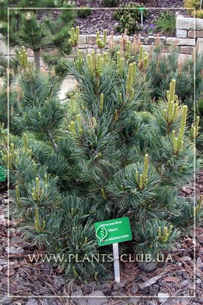 p-34130-pinus-parviflora-glauca-5.jpg