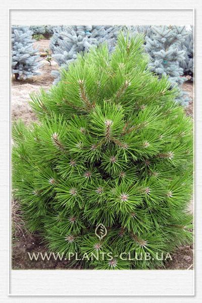 p-34228-pinus-nigra-benelux.jpg