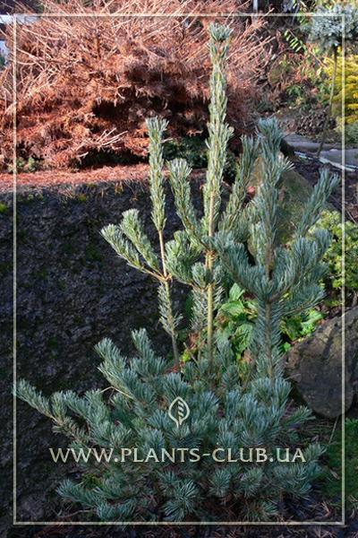 p-34239-pinus-parviflora-ryu-ju-3.jpg