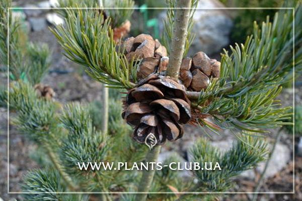 p-34239-pinus-parviflora-ryu-ju.jpg