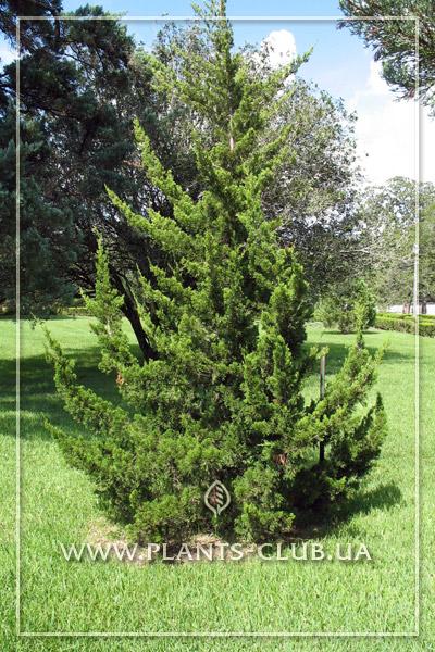 p-34291-juniperus-virginiana-canaertii.jpg