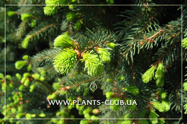 p-34297-picea_abies_cupressina.jpg