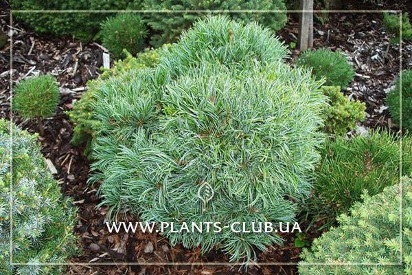 p-34319-pinus-parviflora-schoons-bonsai-2.jpg
