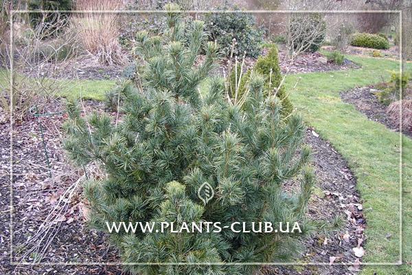 p-34319-pinus-parviflora-schoons-bonsai.jpg