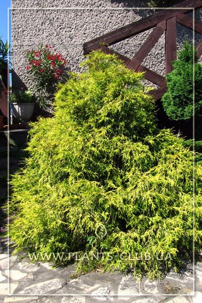p-34358-chamaecyparis-pisifera-filifera-aurea.jpg