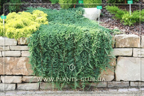 p-34367-juniperus-horizontalis-glauca.jpg