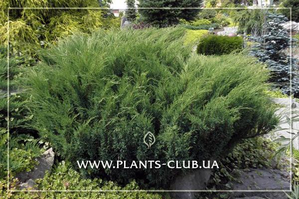 p-34372-juniperus-sabina-mas.jpg