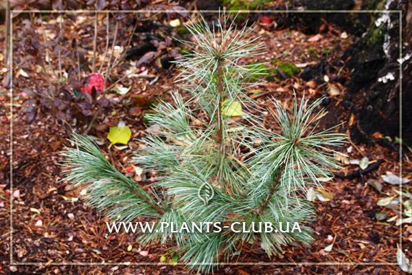 p-34378-pinus-monticola-ammerland.jpg
