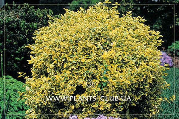 p-34396-euonymus-fortunei-country-gold.jpg