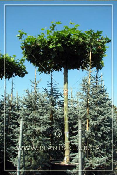 p-34410-platanus-acerifolia-umbrella.jpg