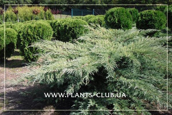 p-34427-juniperus-virginiana-hetz_4.jpg