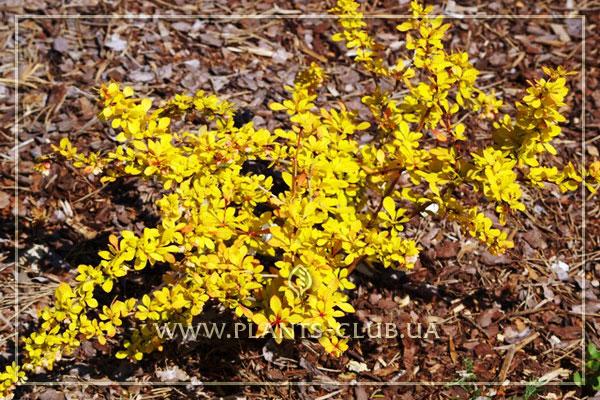 p-34447-berberis-thunbergii-golden-carpet.jpg