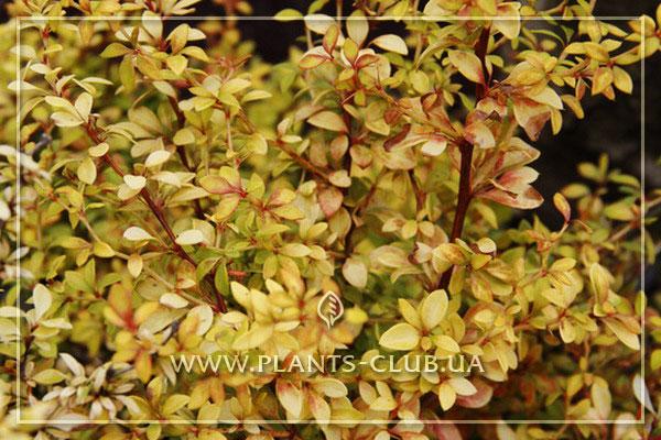 p-34452-berberis-thunbergii-golden-dream.jpg