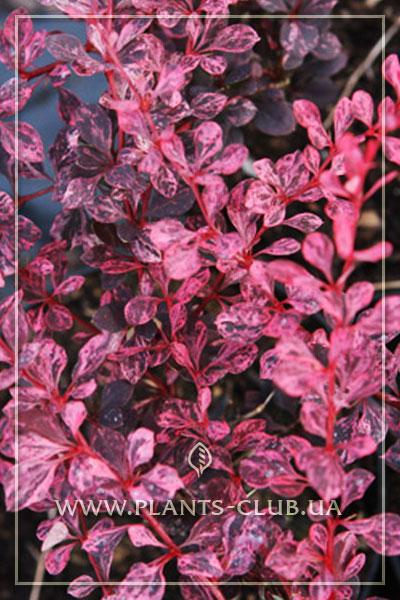 p-34466-berberis-thunbergii-pink-queen-2.jpg