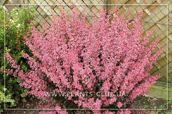 p-34466-berberis-thunbergii-pink-queen.jpg