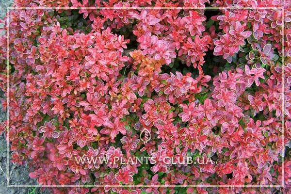 p-34473-berberis-thunbergii-red-dream.jpg