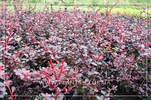 p-34477-berberis-thunbergii-red-lady.jpg