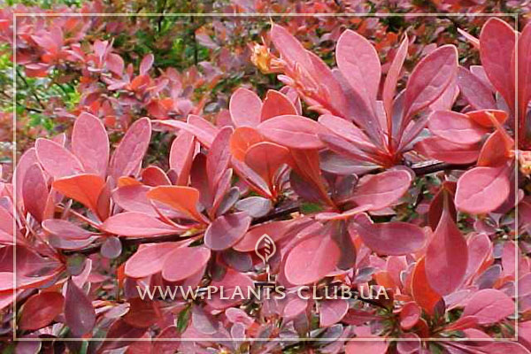 p-34483-berberis-thunbergii-rose-glow.jpg