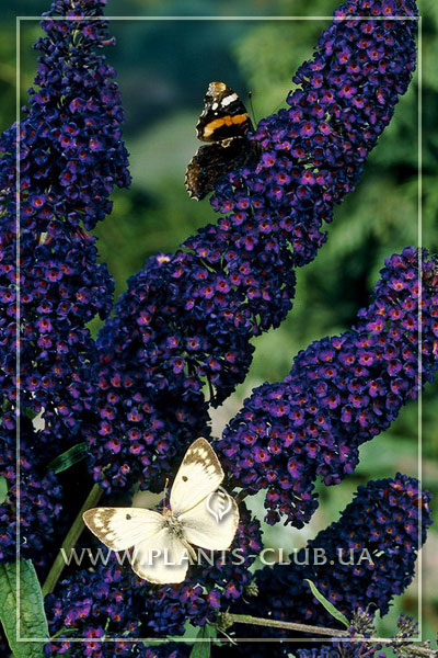 p-34498-buddleja-davidii-black-knight.jpg