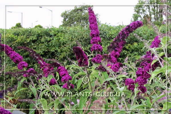 p-34508-buddleja-davidii-royal-red-1.jpg