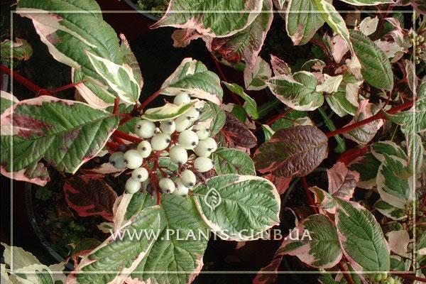 p-34526-cornus-alba-sibirica-variegata.jpg