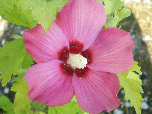 p-34541-hibiscus-syriacus-'pink-giant'.jpg