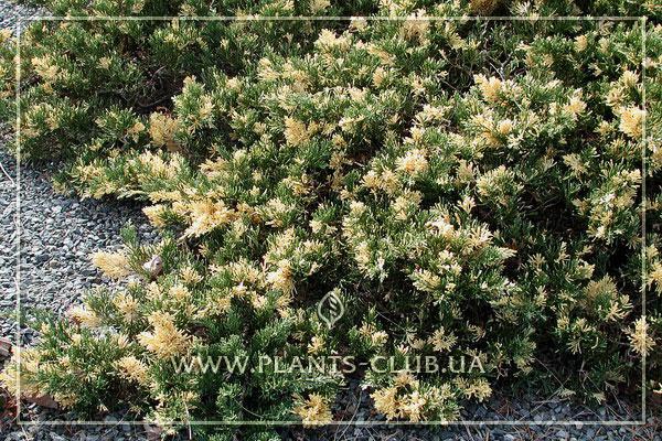 p-34630-juniperus-chinensis-expansa-variegata.jpg