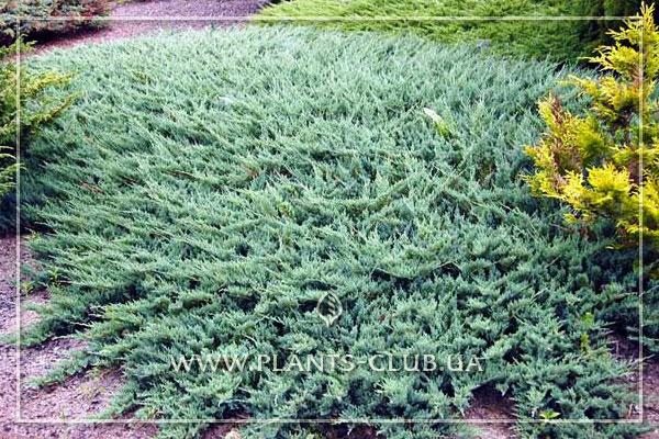 p-34634-juniperus-horizontalis-icee-blue.jpg